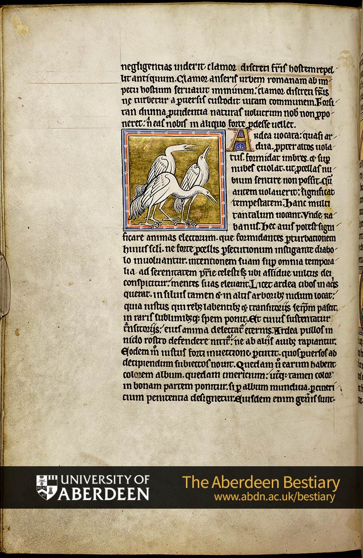 Folio 53v - the goose, continued. [De ardea] ; Of the heron | The Aberdeen Bestiary | The University of Aberdeen
