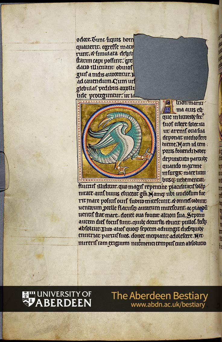 Folio 54v - the partridge, continued. [De altione]; Of the halcyon | The Aberdeen Bestiary | The University of Aberdeen