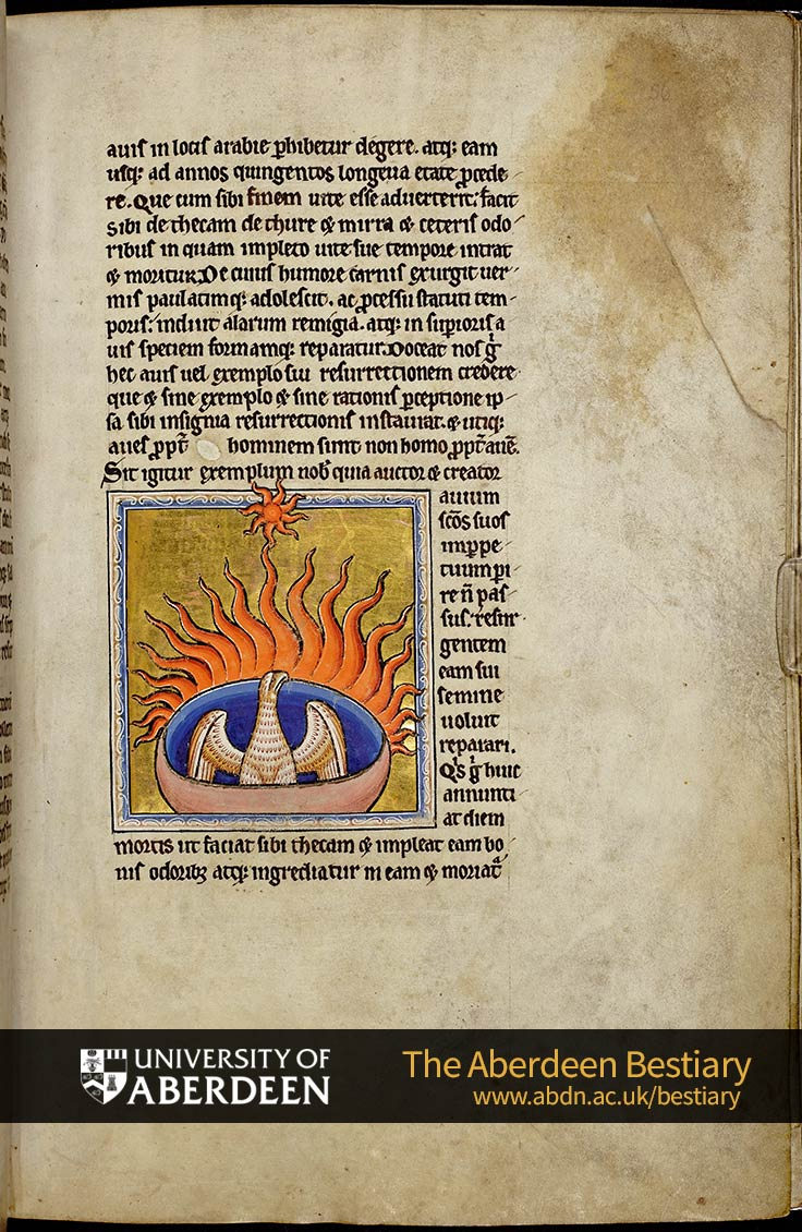 Folio 56r - the phoenix, continued. | The Aberdeen Bestiary | The University of Aberdeen