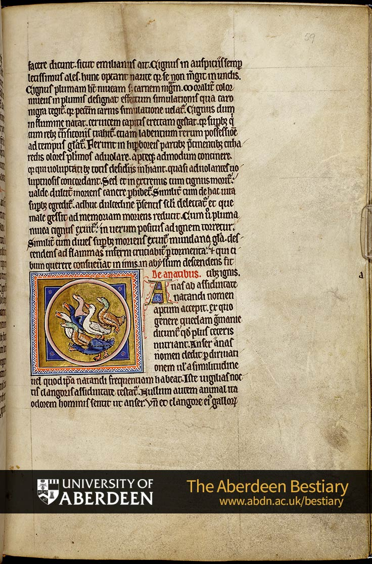 Folio 59r - the swan, continued. De anatibus; Of the duck | The Aberdeen Bestiary | The University of Aberdeen