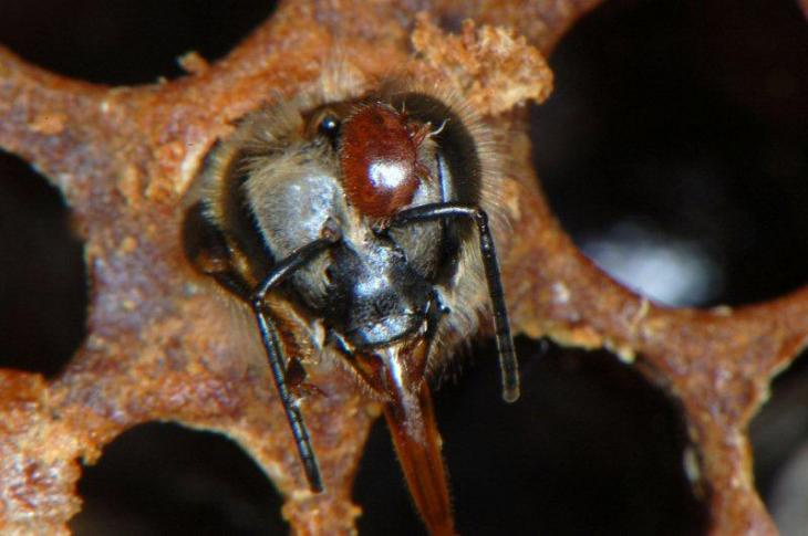 Varroa mite on adult bee emerging from brood cell