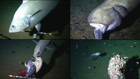 Images captured by the Oceanlab team - the bottom right image is a record for the deepest fish ever filmed
