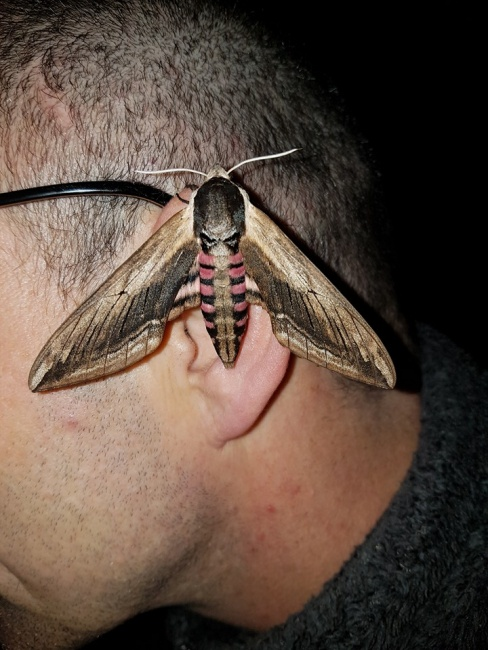 Death's Head hawk moth on my head in Suffolk.