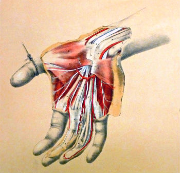 Image of the anatomy of the hand