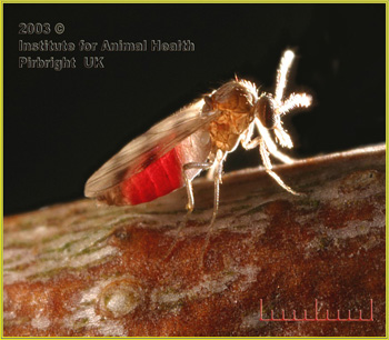 Common biting midge courtesy of Institute for Animal Health, Pirbright UK