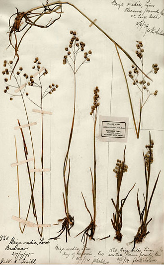 photo of herbarium specimen of Briza media