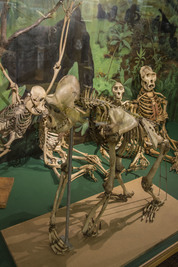 photo of primate skeletons