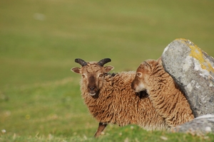 Soay sheep courtesy of Loeske Kruuk