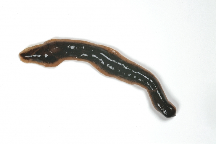 where in the uk are new zealand flatworms and what are they up to