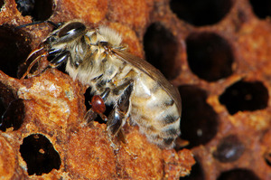 A bee and Varroa mite
