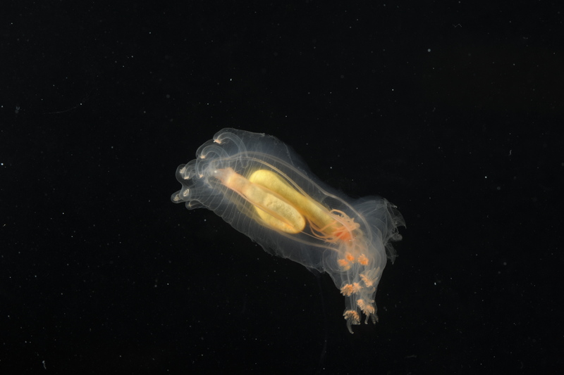 Sea cucumber found swimming above the mid atlantic ridge - courtesy of David Shale