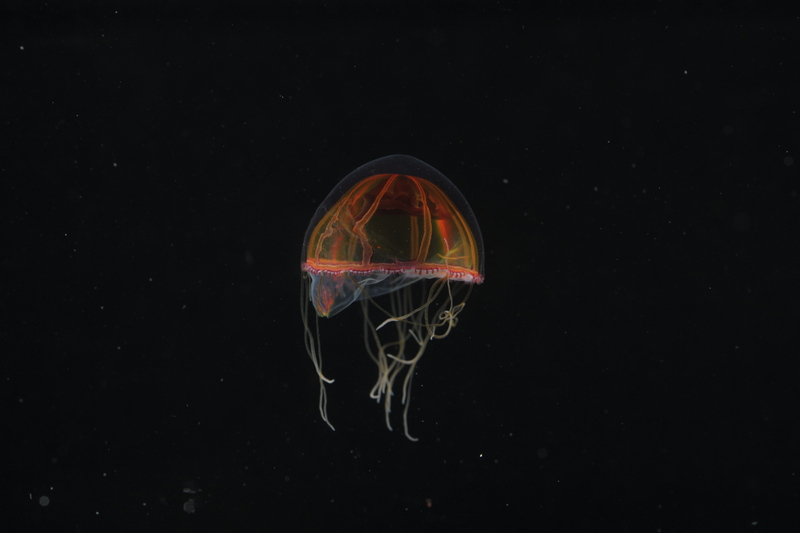 Deepsea jellyfish that forages near the sea floor - courtesy of David Shale