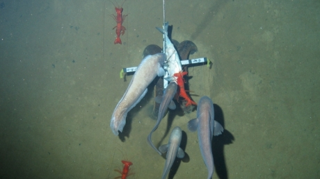Photo of large cusk eels and prawns. Photo copyright of Oceanlab, University of Aberdeen, UK