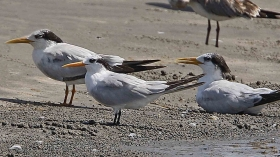 Two Royal Tern's (background) alongside a Lesser Crested Tern (foreground) - new research shows they are more closely related than previously thought