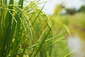 Identification of gene could pave way for low arsenic crops such as rice (pictured)