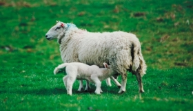 Study looked at effects of exposure of pregnant ewes to a cocktail of chemical contaminants present in some fertilised pastures